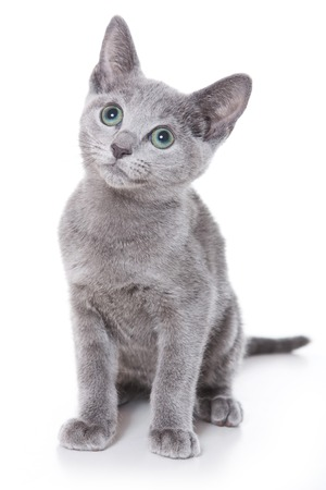 purebreed: Russian blue kitten looking up (isolated on white) Stock Photo