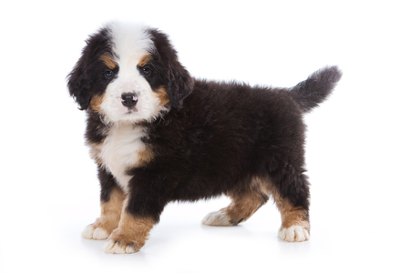 varicoloured: Bernese Mountain Dog puppy standing and looking at the camera (isolated on white) Stock Photo
