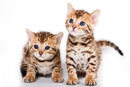 cute kitten: Two Bengal kitten (isolated on white)