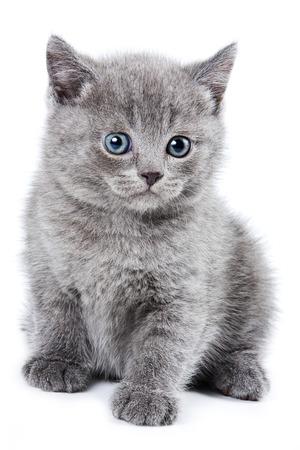 fluffy: Fluffy gray kitten British (isolated on white)