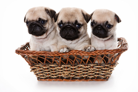 pug: Three pug puppy in a basket (isolated on white) Stock Photo