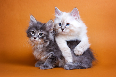 lays down: Two Siberian fluffy kitten on  orange background