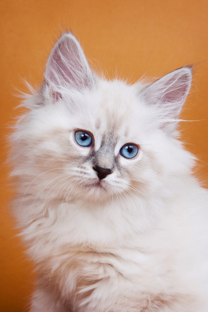 brown pussy: White kitten with blue eyes on an orange background