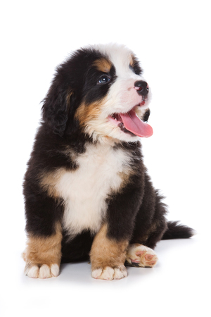 breed: Puppy Bernese Mountain Dog sitting (isolated on white)