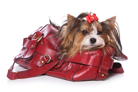 varicoloured: Beaver Yorkshire Terrier dog sitting in a bag (Isolated on white) Stock Photo