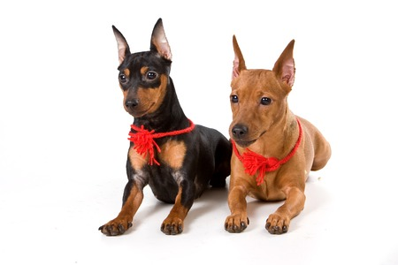 lays down: Two pinscher (isolated on white) Stock Photo