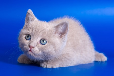 baby  pussy: Gray kitten on a blue background