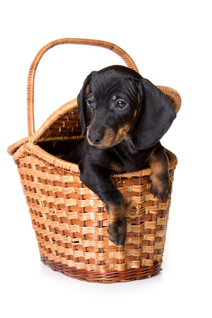 Dachshund puppy sitting in a basket (isolated on white) Stock Photo