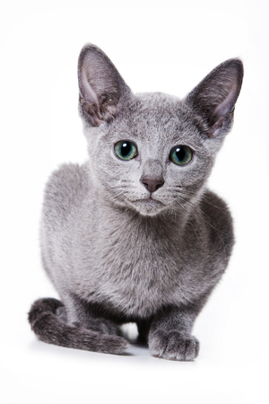 purebreed: Russian blue kitten looking at the camera (isolated on white) Stock Photo