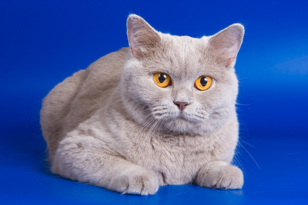 purr: British cat with orange eyes on a blue background Stock Photo