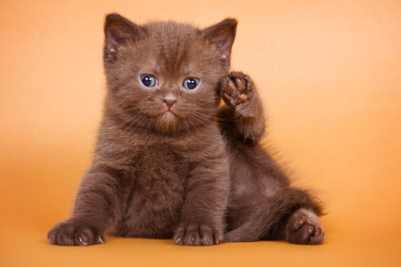 brown background: Brown kitten sitting and looking at the camera on a brown background