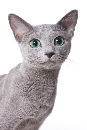 purebred cat: Russian blue cat portrait (isolated on white)