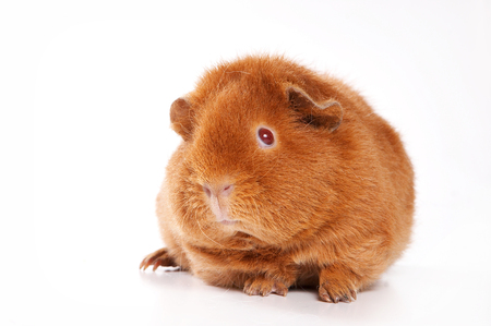 nariz roja: Red guinea pig (isolated on white)