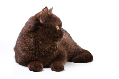 lays down: Brown cat profile (isolated on white)