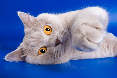 lays down: British cat with orange eyes on a blue background Stock Photo