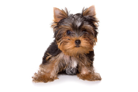 whelp: Puppy Yorkshire terrier looking at the camera (isolated on white) Stock Photo