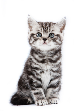 cute pussy: British striped gray kitten (isolated on white)