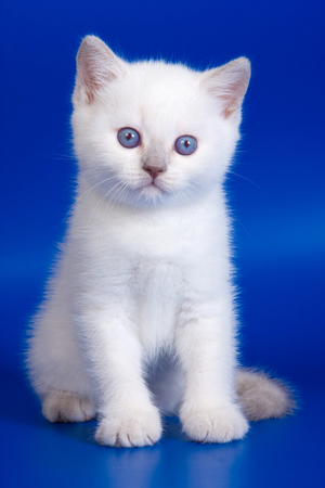 baby  pussy: White fluffy kitten with blue eyes on a blue background
