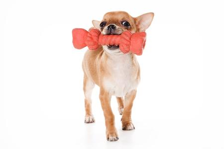 fondo blanco: Chihuahua cachorro y el juguete grande (aislado en blanco) Foto de archivo