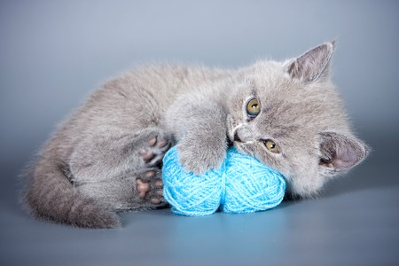 lays down: Fluffy gray kitten and balls of wool on a gray background