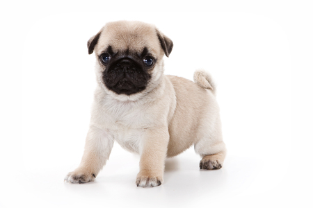 pug dog: Funny pug Puppy looking at the camera (isolated on white)