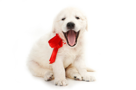 golden retriever puppy: golden retriever puppy yawns (isolated on white)