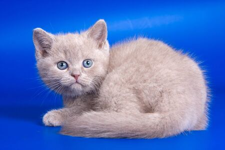 lays down: Gray kitten on a blue background