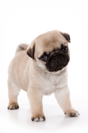 cute puppy: Funny pug Puppy looking at the camera (isolated on white)