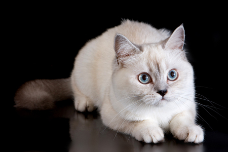 purr: White fluffy cat on a black background Stock Photo