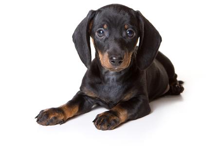 perrito: El perrito del Dachshund que miente y mirando a la cámara (aislado en blanco)
