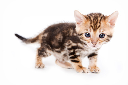 kitten: Bengal kitten standing and looking at the camera (isolated on white)
