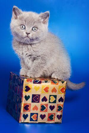 fluffy: British gray kitten on a blue background