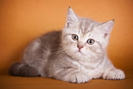 britan: Brown Britan kitten lying on a brown background