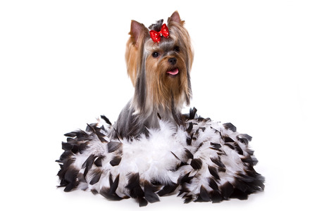 varicoloured: Yorkshire terrier dog sits in the feathers (isolated on white) Stock Photo