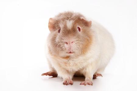 guinea pig: White guinea pig (isolated on white)