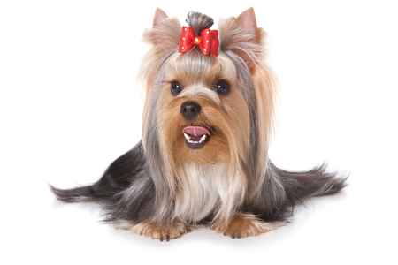 lays down: Yorkshire Terrier dog  looking at the camera (isolated on white) Stock Photo