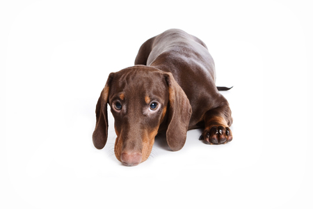lays down: Dachshund puppy lying and looking at the camera (isolated on white)