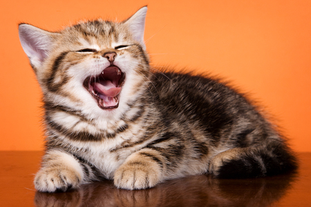 British striped ginger kitten yawns on an orange background
