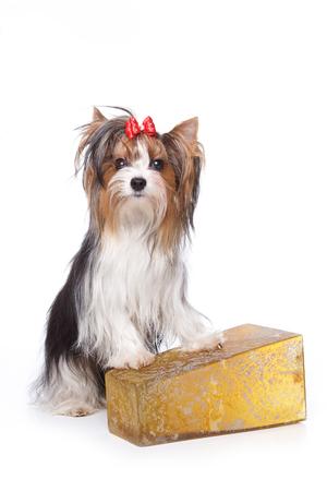 dog isolated: Beaver Yorkshire Terrier dog (isolated on white) Stock Photo