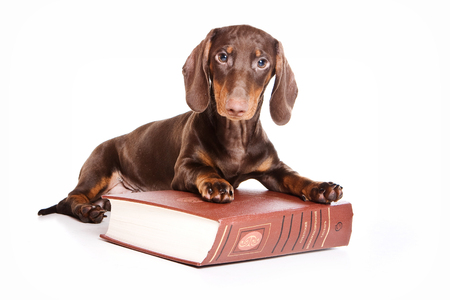 lays down: Dachshund Puppy lying on a book and looking at the camera (isolated on white)