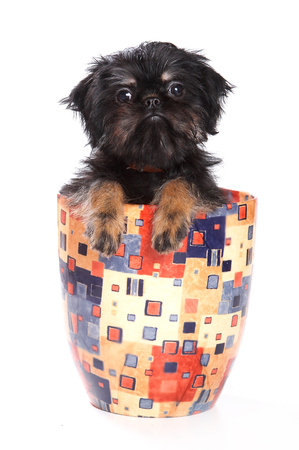 varicoloured: Black puppy sitting in a vase (isolated on white) Stock Photo