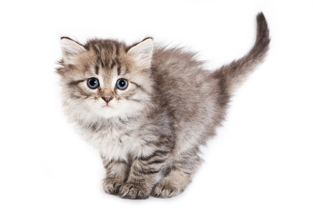 fluffy: Fluffy kitten stands with a large tail and looking at the camera (isolated on white)