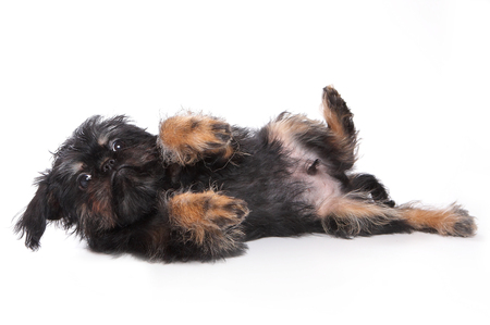 varicoloured: Funny fluffy puppy Griffon lying (isolated on white)