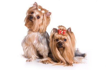 dog isolated: Two Yorkshire Terrier dog (isolated on white) Stock Photo