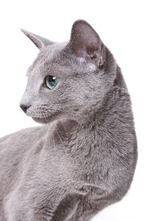 russian blue: Russian Blue Cat profile portrait (isolated on white)