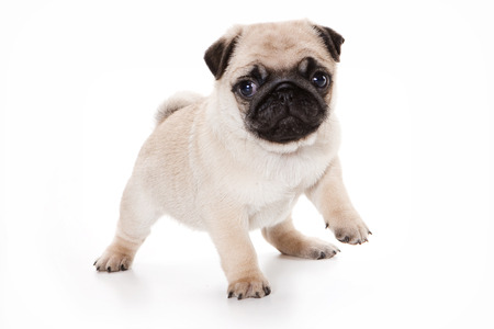 pug puppy: Funny pug Puppy looking at the camera (isolated on white)