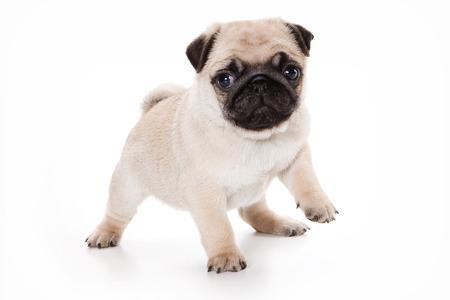 Grappig pug puppy te kijken naar de camera (geïsoleerd op wit) Stockfoto
