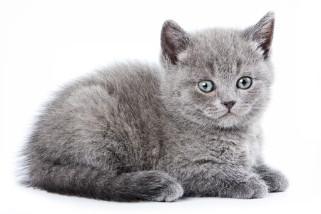 lays down: Fluffy gray kitten British (isolated on white)