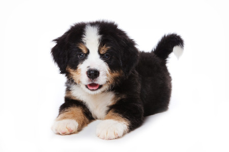 lays down: Puppy Bernese Mountain Dog lying and looking at the camera (isolated on white) Stock Photo