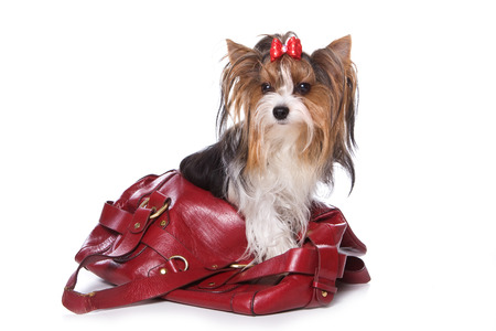 animal pouch: Beaver Yorkshire Terrier dog sitting in a bag (Isolated on white) Stock Photo